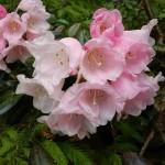 Praktrododendron