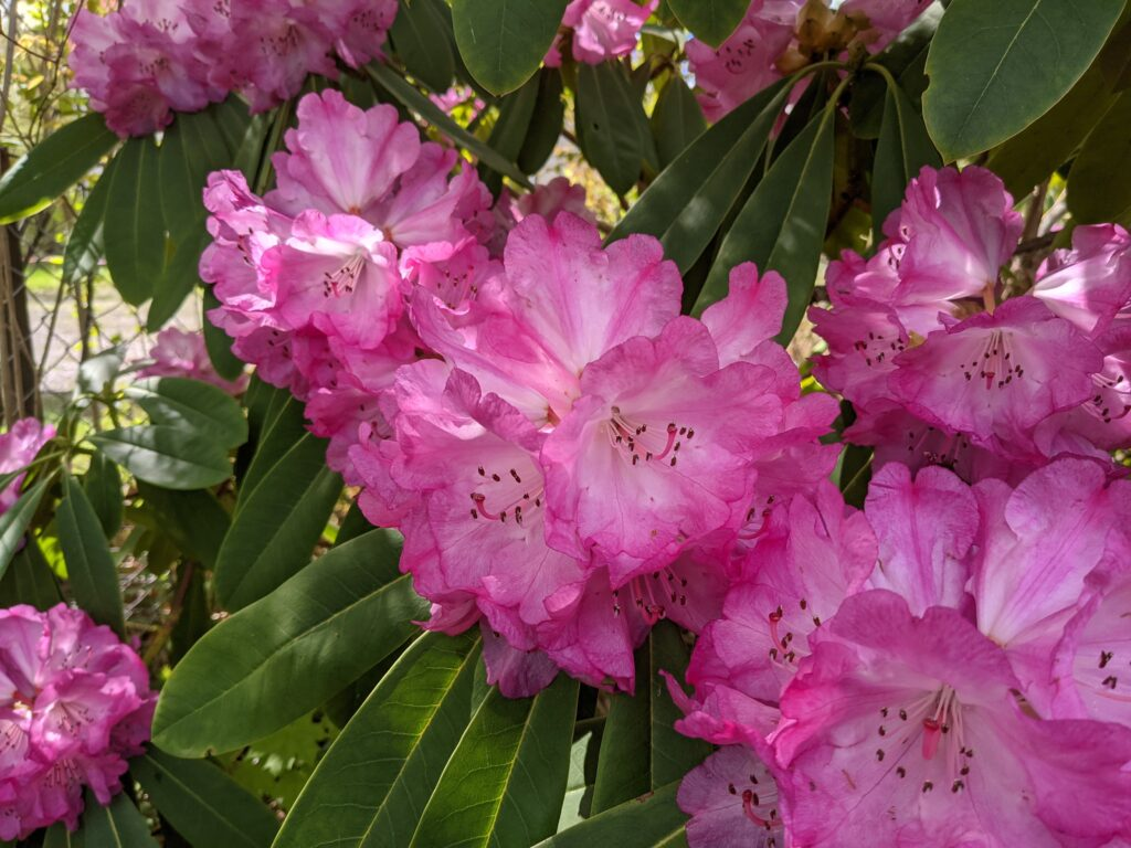 Rododendronblommor